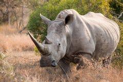 White rhinoceros. Full length standing in bush royalty free stock image