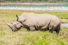 White Rhinoceros in Full View by Lake. Royalty Free Stock Photos