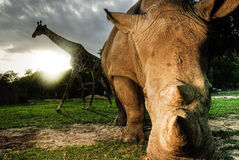White rhinoceros and Giraffe Royalty Free Stock Image