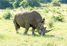 White Rhinoceros grazes in a protected park Royalty Free Stock Photos