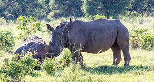White Rhinoceros grazes in a protected park Stock Photos