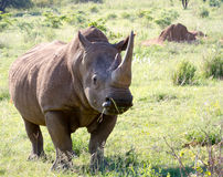 White Rhinoceros grazes in a protected park Stock Image
