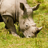 White rhinoceros grazing. Two white rhinoceros grazing on the grass Royalty Free Stock Image