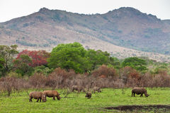 White rhinoceros grazing Royalty Free Stock Images