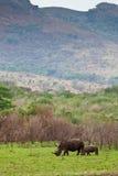 White rhinoceros grazing Royalty Free Stock Photos