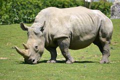White rhinoceros grazing grass Royalty Free Stock Images