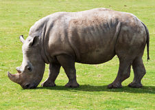 White Rhinoceros Grazing In A Grass Field Royalty Free Stock Photography