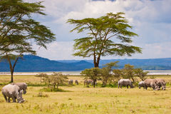 White rhinoceros grazing at lake Baringo, Kenia royalty free stock photography