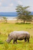 White rhinoceros grazing at lake Baringo, Kenia. White rhinoceros grazing at lake Baringo in Kenia Royalty Free Stock Images