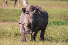 White rhinoceros grazing in the wild, Africa. Close up Stock Photo