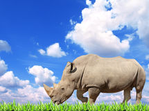 White rhinoceros and green grass Royalty Free Stock Photos