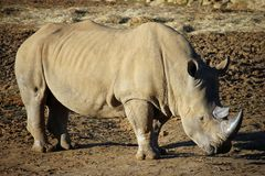 White rhinoceros with head lowered Stock Photos