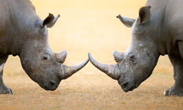 White Rhinoceros  head to head. White Rhinoceros (Ceratotherium Simum) head to head - Kruger National Park (South Africa Royalty Free Stock Photos