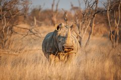 A White rhinoceros hide behind grass  - Ceratotherium simum. The white rhinoceros or square-lipped rhinoceros Ceratotherium simum is the largest species of Royalty Free Stock Photo