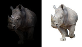 Free White Rhinoceros In Dark And White Background Royalty Free Stock Image - 73167896
