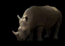 White rhinoceros isolated Stock Photo