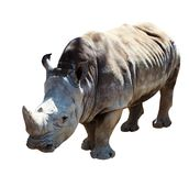 White rhinoceros. Isolated over white background Royalty Free Stock Photos
