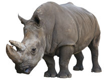 White Rhinoceros isolated over white Stock Photos
