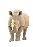 White rhinoceros isolated Stock Photo