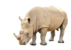 White rhinoceros isolated Stock Photography