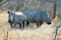 White Rhinoceros Stock Image