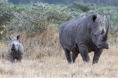White Rhinoceros in Kenya, Africa standing isolated with copy space royalty free stock photo