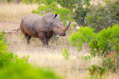 White Rhinoceros, Kruger National Park, South Afri Stock Images