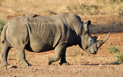 White Rhinoceros, Kruger National Park, South Africa Royalty Free Stock Images