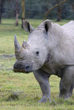 White Rhinoceros at lake Nakuru. Stock Photography