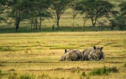 White rhinoceros in Lake Nakuru National Park, Kenya Stock Photography