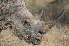 White rhinoceros with large horn Royalty Free Stock Photo