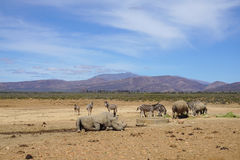White rhinoceros laying down with other rhino and zebras in safa Royalty Free Stock Photo