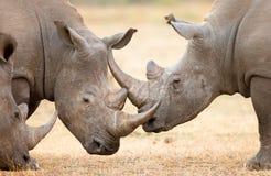 White Rhinoceros locking horns Royalty Free Stock Image