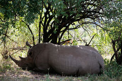 White Rhinoceros Masai Mara reserve Kenya Africa Stock Photos