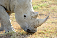 White Rhinoceros in the Masai Marra Royalty Free Stock Photos