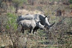 Rhino mother and calf in Pilanesberg National Park. White rhinoceros mother and calf in Pilanesberg National Park, South Africa royalty free stock photo