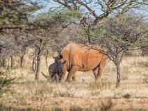 White Rhino Mother And Calf. A White Rhinoceros mother and calf in Southern African savanna stock image