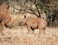 White Rhino Mother And Calf. A White Rhinoceros mother and calf in Southern African savanna stock images