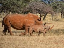 White Rhino Mother And Calf. A White Rhinoceros mother and calf in Southern African savanna stock photo