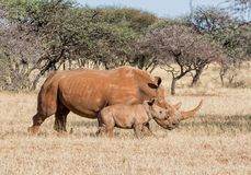 White Rhino Mother And Calf. A White Rhinoceros mother and calf in Southern African savanna royalty free stock photos