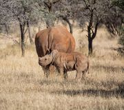White Rhino Mother And Calf. A White Rhinoceros mother and calf in Southern African savanna royalty free stock photography
