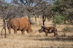 White Rhino Mother And Calf. A White Rhinoceros mother and calf in Southern African savanna stock photography