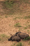White rhinoceros mother and child sleeping Stock Photo