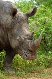 White rhinoceros after mud bath. Stock Photos