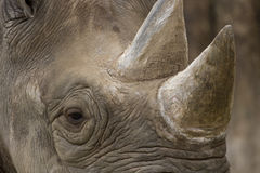 White Rhinoceros - Namibia. White Rhinoceros (Ceratotherium simum) in Etosha National Park in Namibia Stock Photo