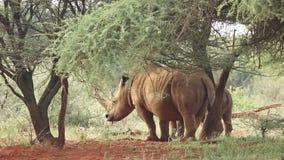 White rhinoceros in natural habitat stock video footage