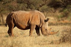 White rhinoceros in natural habitat - South Africa Stock Photography