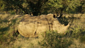 White rhinoceros in natural habitat stock video