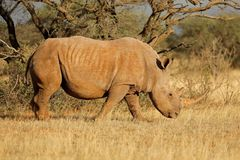 White rhinoceros in natural habitat Stock Images