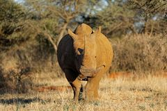 White rhinoceros in natural habitat Royalty Free Stock Images